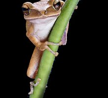 Golden Flying Tree Frog by Simon Downing snr