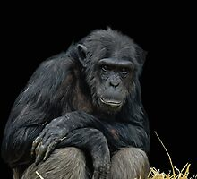 Chimpanzee Portrait by JMChown