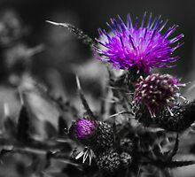 Thistle  by shardphotos