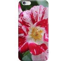Red and white rose iPhone Case/Skin