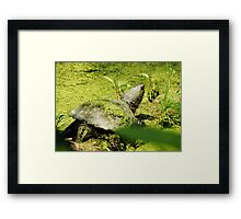 Snapping Turtle & Frog Tanning. Framed Print