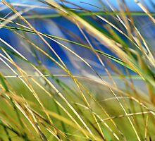 Sea Grass, Plum Island, Massachusetts by christazuber