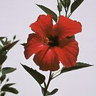 Pillow - Hibiscus by Francis Drake