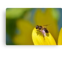 Hoverfly on Sunflower Leaf Canvas Print