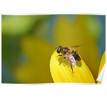 Hoverfly on Sunflower Leaf Poster