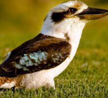 """Early Bird' - Kookaburra on lush lawn Sticker"