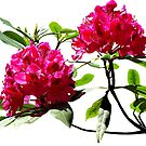 Two Dark Red Rhododendrons by Susan Savad