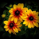 Black Eyed Susan by katpix