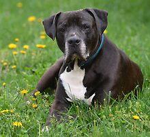 American Pitt Bull Terrier by Matsumoto