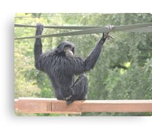 Swinging Siamang Canvas Print