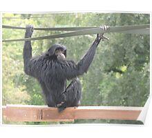 Swinging Siamang Poster