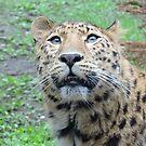 Amur Leopard by CreativeEm