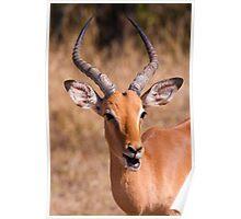 Impala, Kruger National Park, South Africa Poster