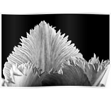 Pink Fringed Tulip on Black Background Poster