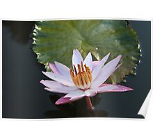 Night blooming water lily Poster