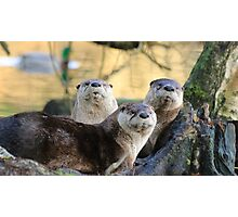 Three River Otters Photographic Print