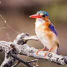 Malachite Kingfisher on the Chobe River, Botswana by Robert Kelch, M.D.