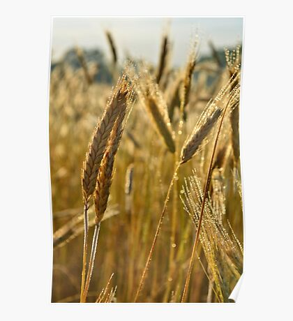 Ripening Wheat Poster