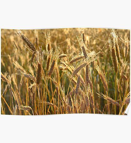 Ripening Wheat Field Poster