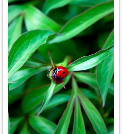 Ladybug on peony bud Sticker