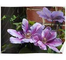 Sunlit Clematis Blossoms Poster