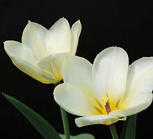 Two White Tulips by Kathleen Brant