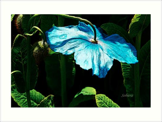 Shy Blue by Rosemary Sobiera