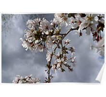 Cherry Blossom Photography Poster