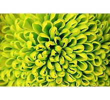 White and green flowers of chrysanthemum background Photographic Print