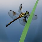 Dragonfly - Cristfield, MD by searchlight