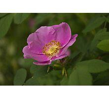 Swamp rose blossom Photographic Print