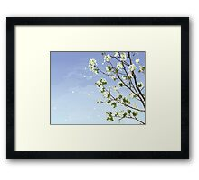 White Cherry Blossoms  Framed Print