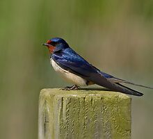 Swallow by Trevsnature