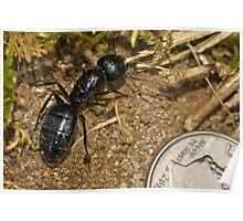 Black Carpenter Ant Poster