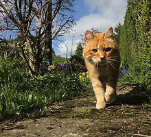 Ginger cat walking on garden path by turniptowers