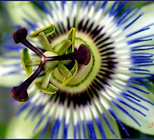 Passion Flower by Janone