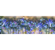Blue flower wall decoration. Agapanthus Photographic Print