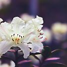 Rhododendron Daze by Vicki Field
