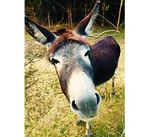 Curious Donkey Photographic Print