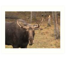 Bull moose in a fall landscape Art Print