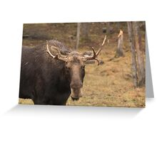 Bull moose in a fall landscape Greeting Card