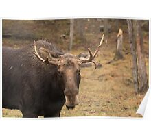 Bull moose in a fall landscape Poster