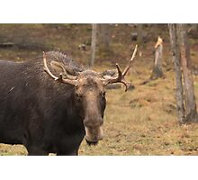 Bull moose in a fall landscape Photographic Print