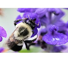 Soggy Bumble Photographic Print