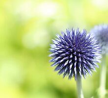 Allium 01 by Jimmy Ostgard