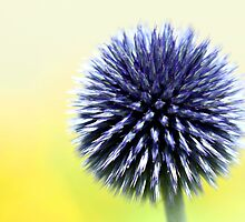 Allium 02 by Jimmy Ostgard