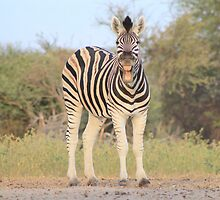 Zebra - African Wildlife Background - Funny Nature by LivingWild