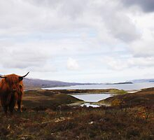Highland Cow by laurapercival