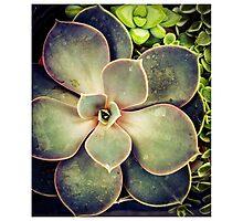 Succulents Photographic Print