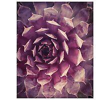 Purple Succulent Photographic Print